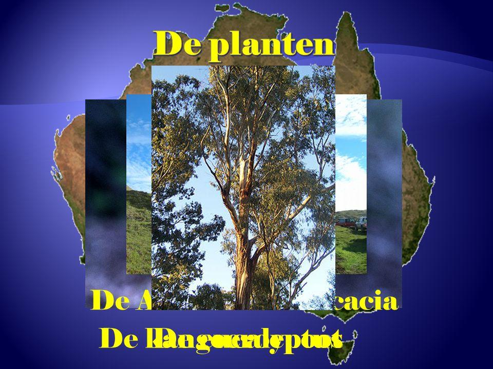 De Australische acacia
