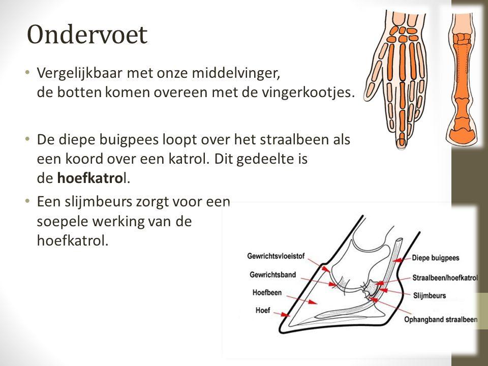 Ondervoet Vergelijkbaar met onze middelvinger, de botten komen overeen met de vingerkootjes.
