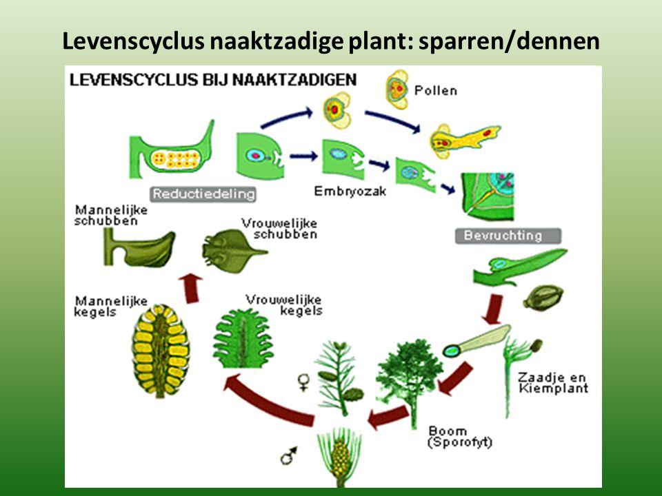 Levenscyclus naaktzadige plant: sparren/dennen