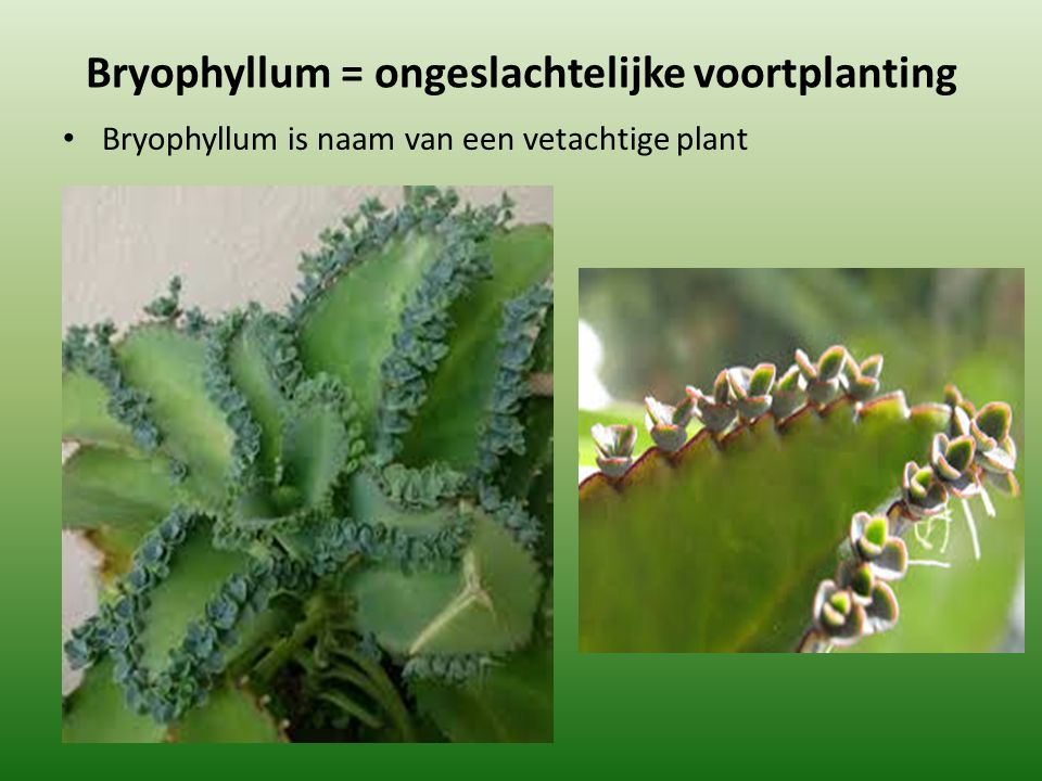 Bryophyllum = ongeslachtelijke voortplanting