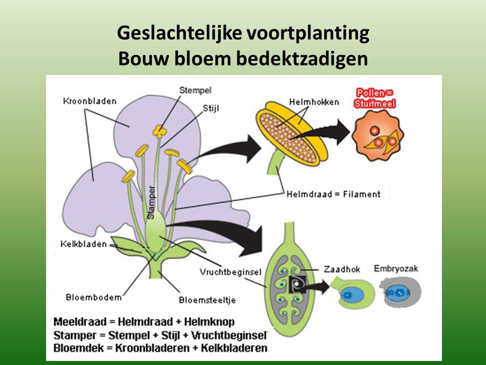 Geslachtelijke voortplanting Bouw bloem bedektzadigen