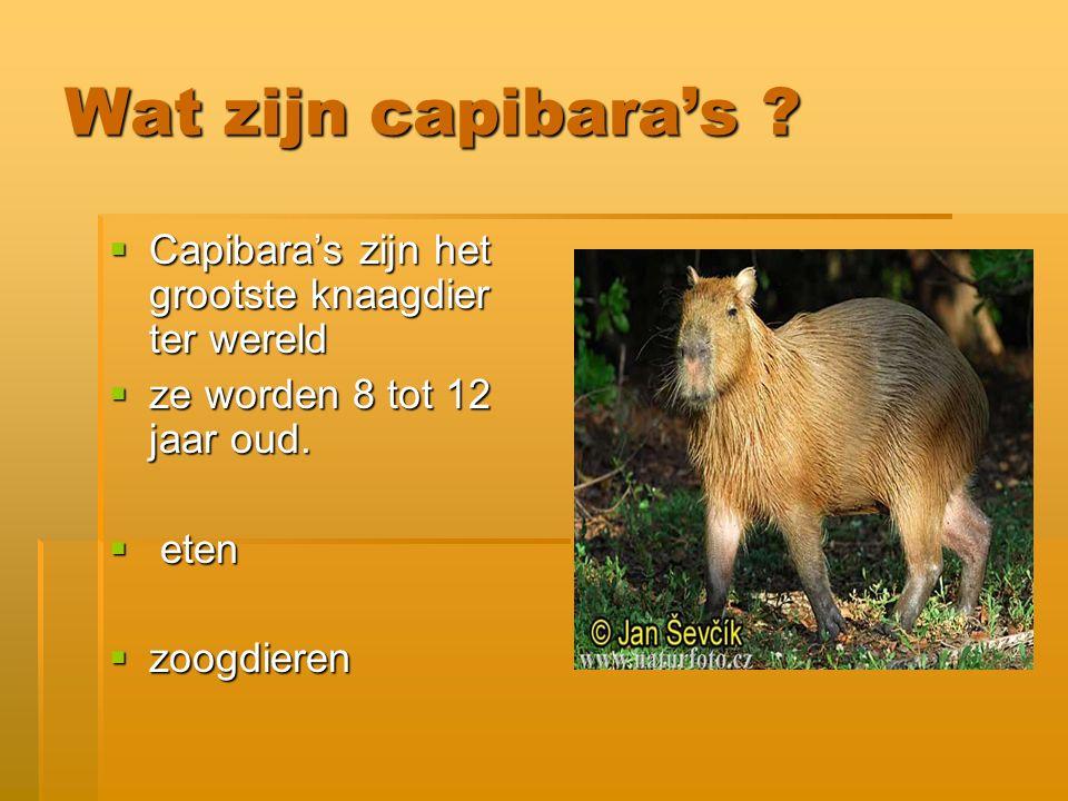 Wat zijn capibara's Capibara's zijn het grootste knaagdier ter wereld. ze worden 8 tot 12 jaar oud.