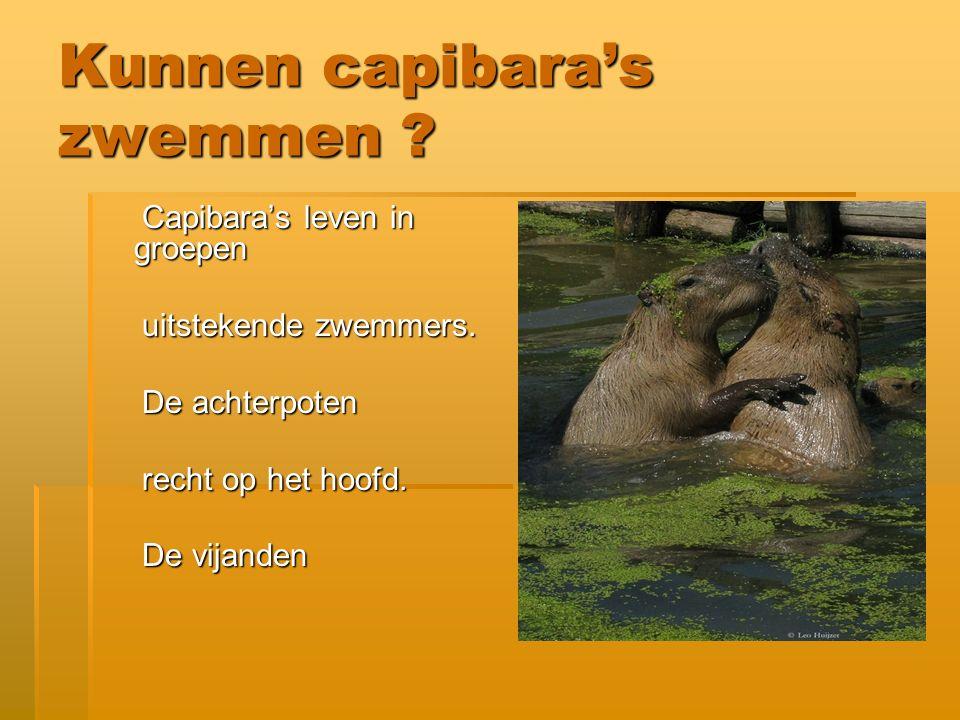 Kunnen capibara's zwemmen