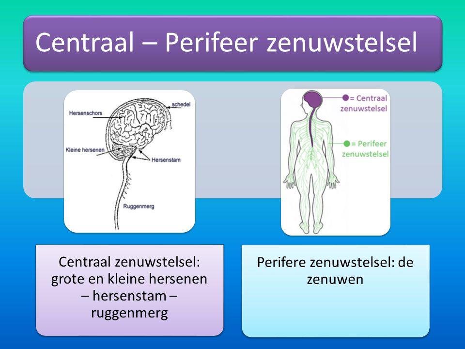 Perifere zenuwstelsel: de zenuwen