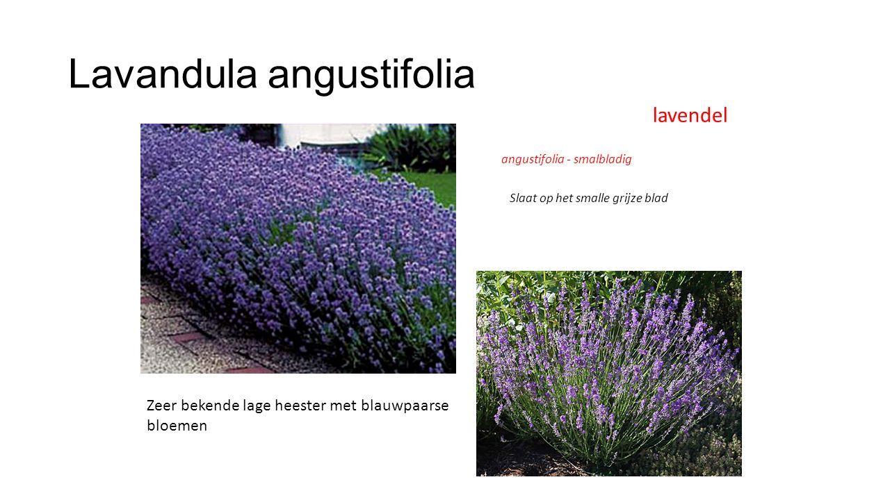 Lavandula angustifolia