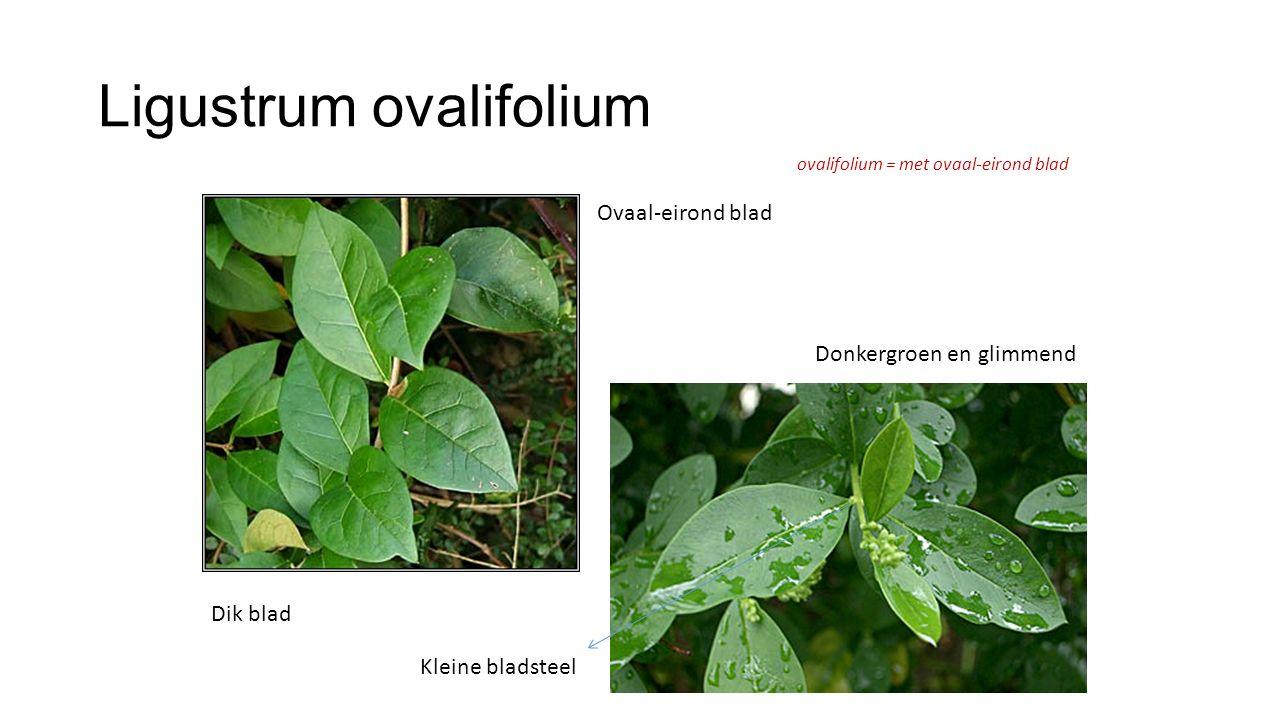 Ligustrum ovalifolium