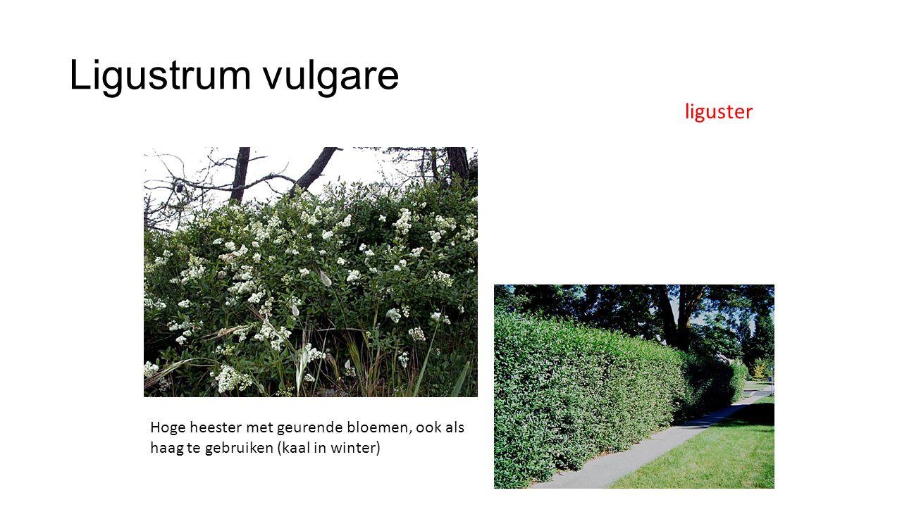 Ligustrum vulgare liguster