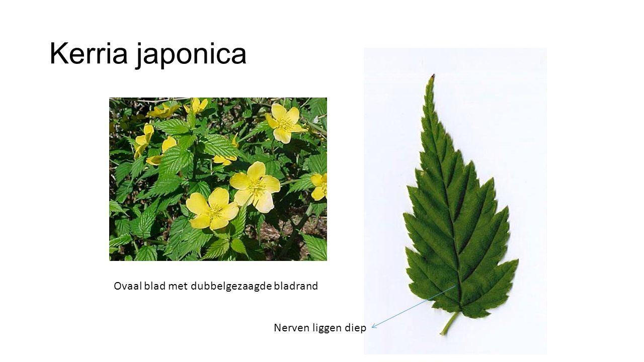 Kerria japonica Ovaal blad met dubbelgezaagde bladrand