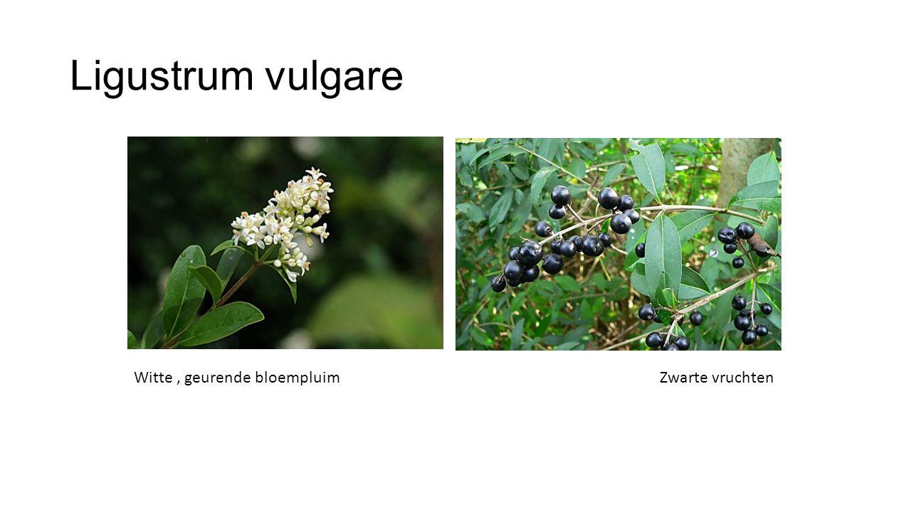 Ligustrum vulgare Witte , geurende bloempluim Zwarte vruchten