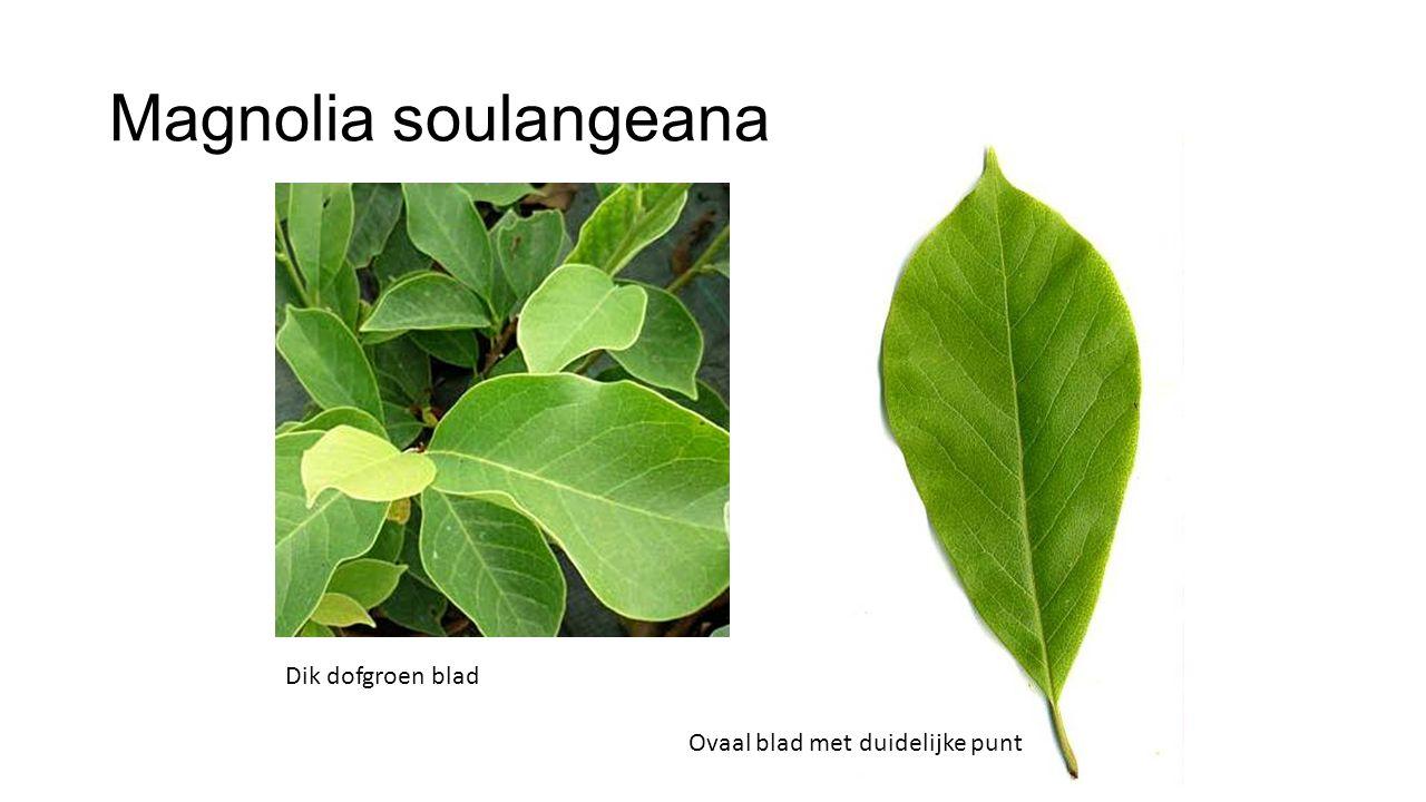 Magnolia soulangeana Dik dofgroen blad Ovaal blad met duidelijke punt