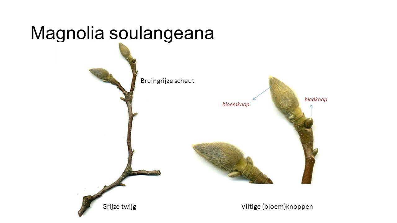 Magnolia soulangeana Bruingrijze scheut Grijze twijg