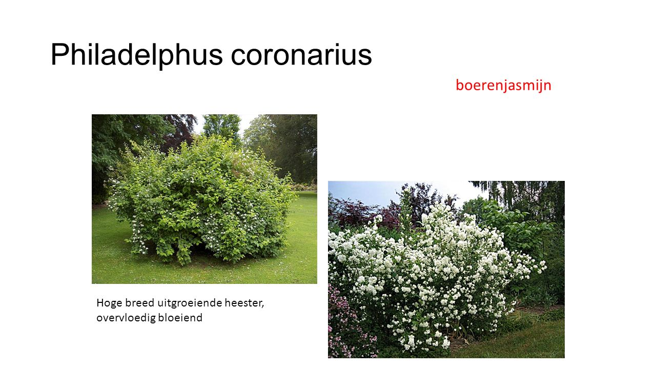 Philadelphus coronarius
