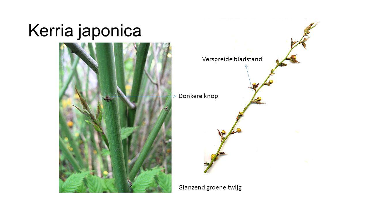 Kerria japonica Verspreide bladstand Donkere knop