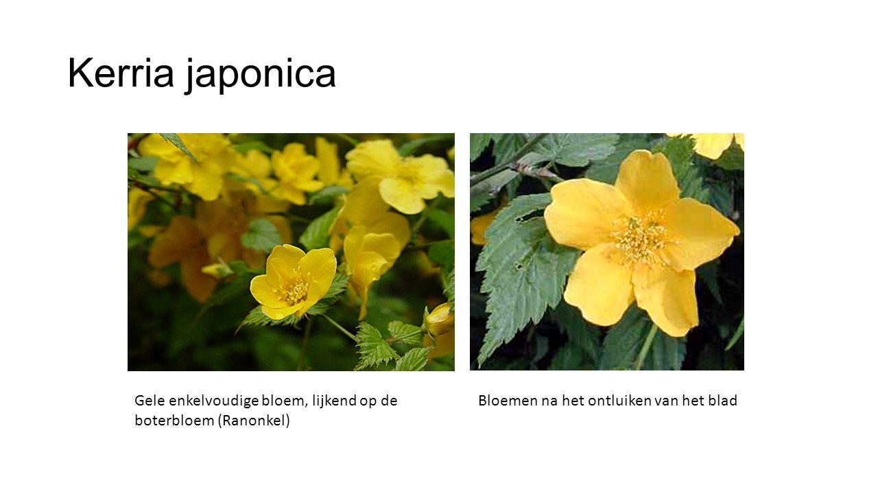 Kerria japonica Gele enkelvoudige bloem, lijkend op de boterbloem (Ranonkel) Bloemen na het ontluiken van het blad.