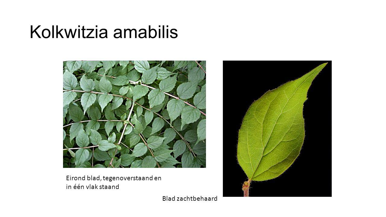 Kolkwitzia amabilis Eirond blad, tegenoverstaand en in één vlak staand