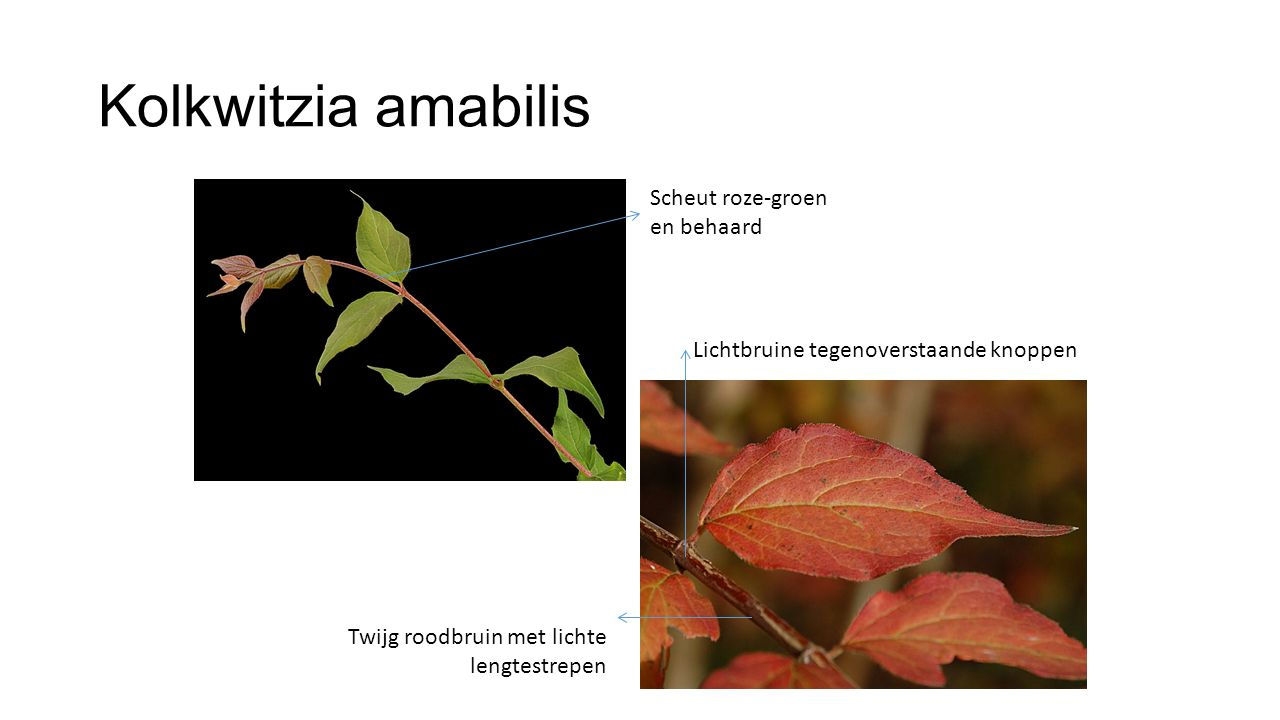 Kolkwitzia amabilis Scheut roze-groen en behaard