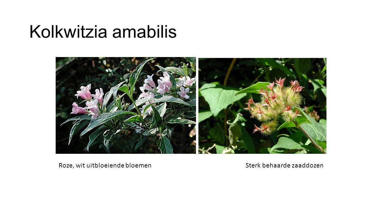 Kolkwitzia amabilis Roze, wit uitbloeiende bloemen