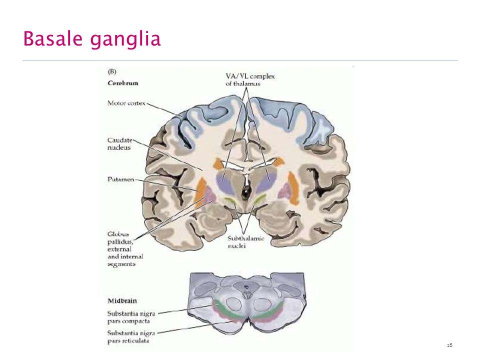 Basale ganglia Basale ganglia : groep nuclei betrokken bij controle willekeurige bewegingen. nc. caudatus + putamen = neostriatum.