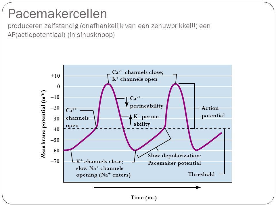 Pacemakercellen produceren zelfstandig (onafhankelijk van een zenuwprikkel!!) een AP(actiepotentiaal) (in sinusknoop)