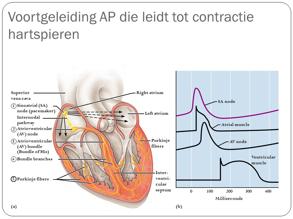 Voortgeleiding AP die leidt tot contractie hartspieren