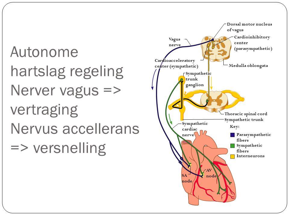 Autonome hartslag regeling Nerver vagus => vertraging Nervus accellerans => versnelling