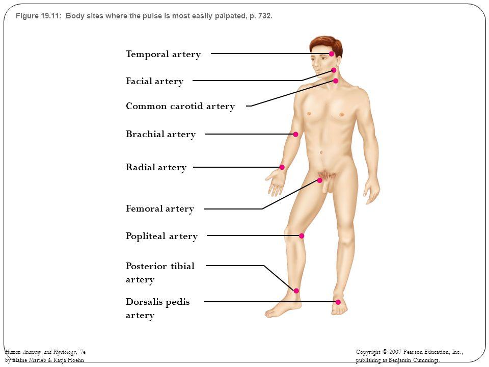 Temporal artery Facial artery Common carotid artery Brachial artery