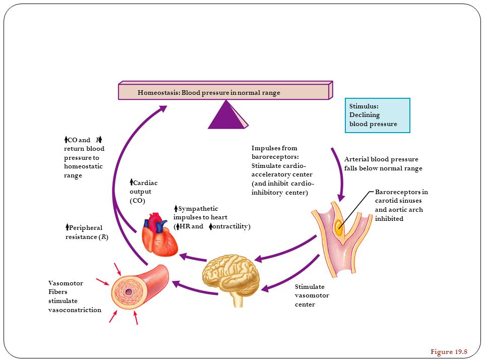 Figure 19.8 Homeostasis: Blood pressure in normal range Stimulus: