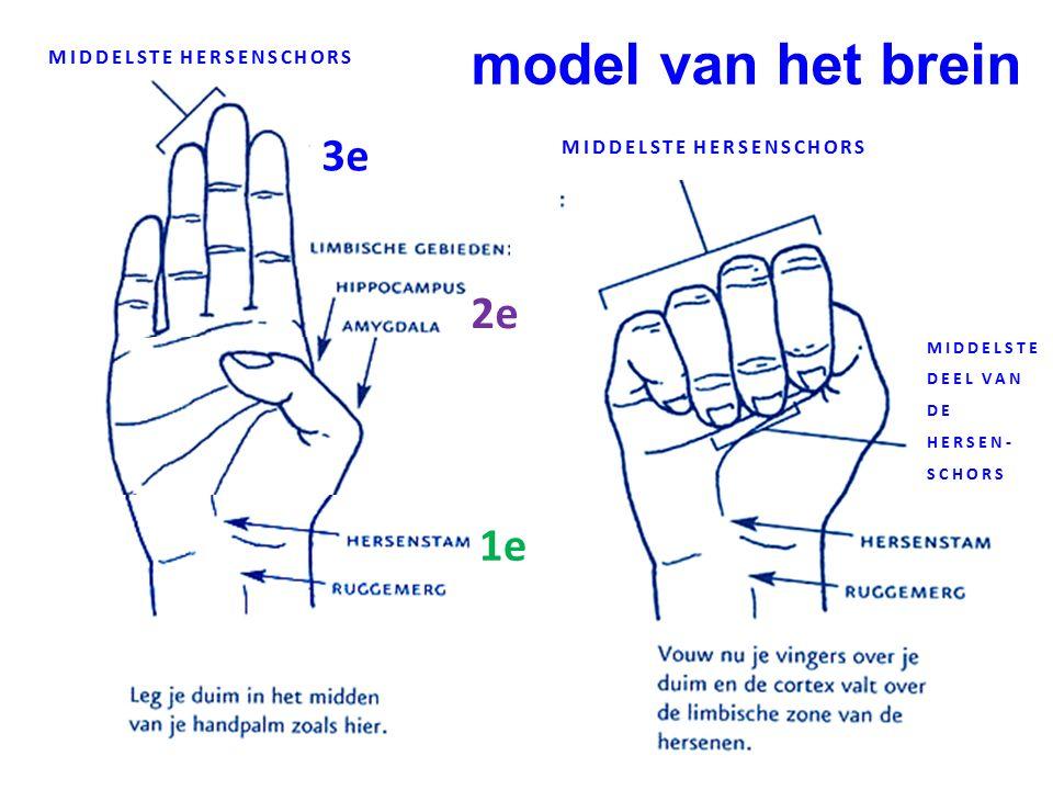 model van het brein 3e 2e 1e MIDDELSTE HERSENSCHORS