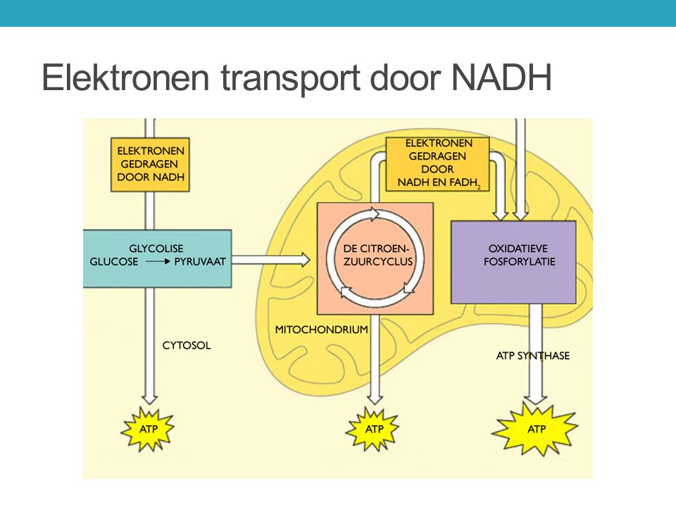 Elektronen transport door NADH