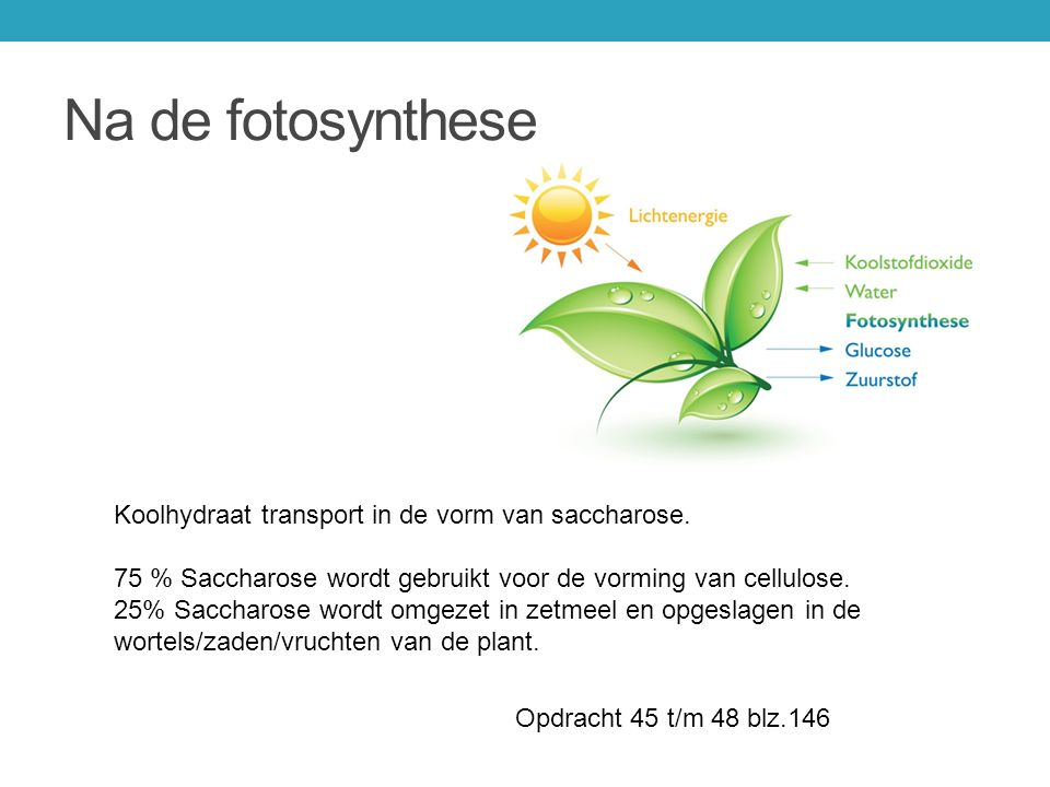 Na de fotosynthese Koolhydraat transport in de vorm van saccharose.
