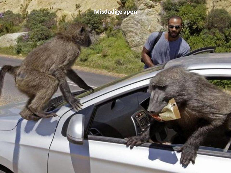 Misdadige apen