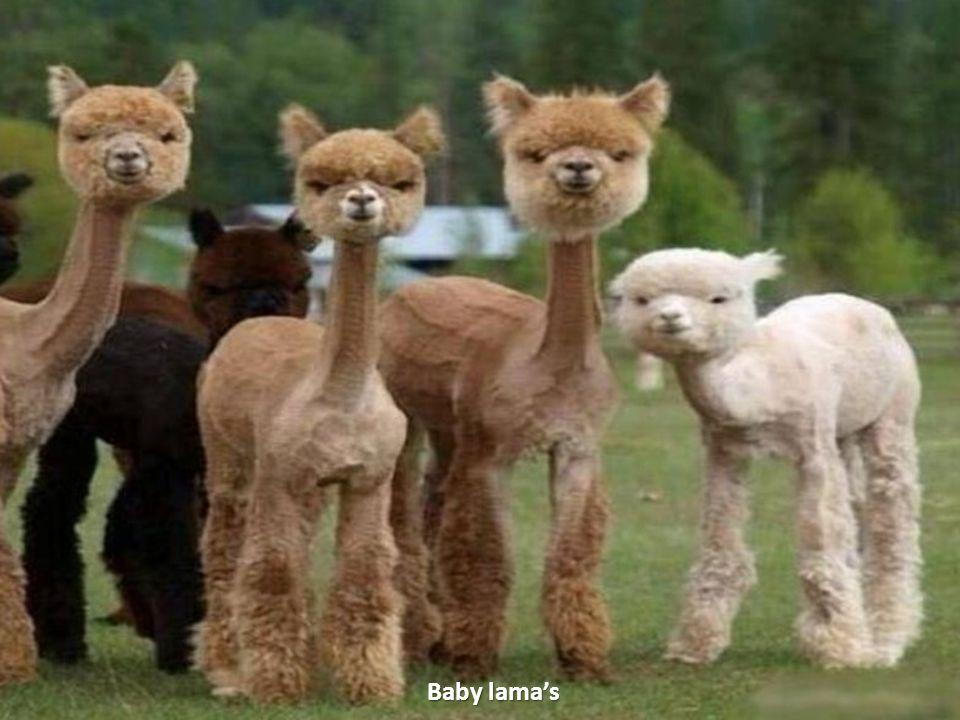 Baby lama's