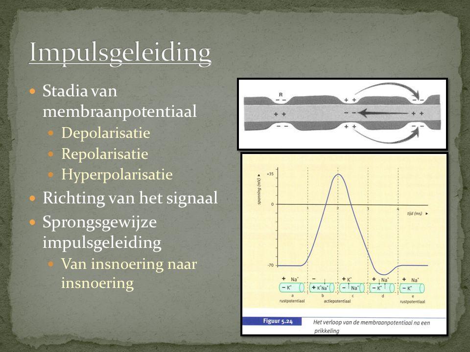 Impulsgeleiding Stadia van membraanpotentiaal Richting van het signaal