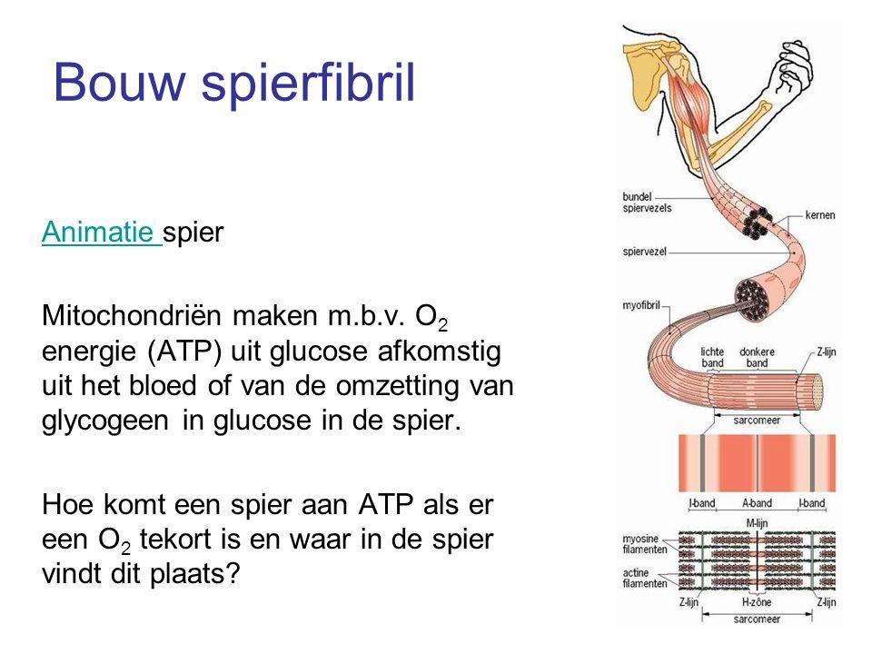 Bouw spierfibril Animatie spier