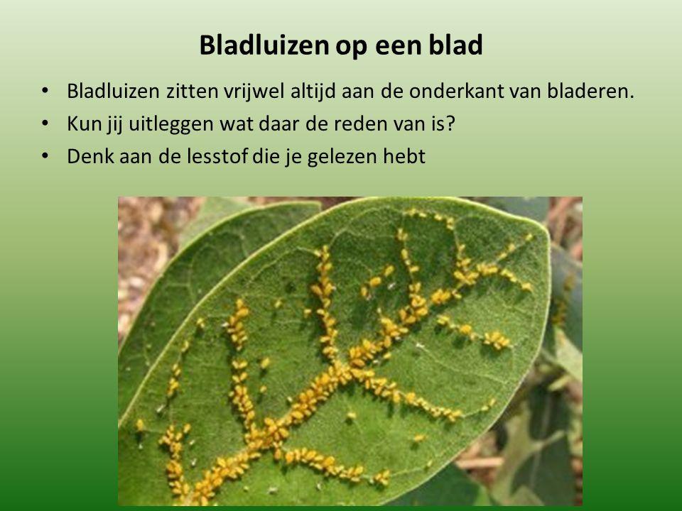 Bladluizen op een blad Bladluizen zitten vrijwel altijd aan de onderkant van bladeren. Kun jij uitleggen wat daar de reden van is