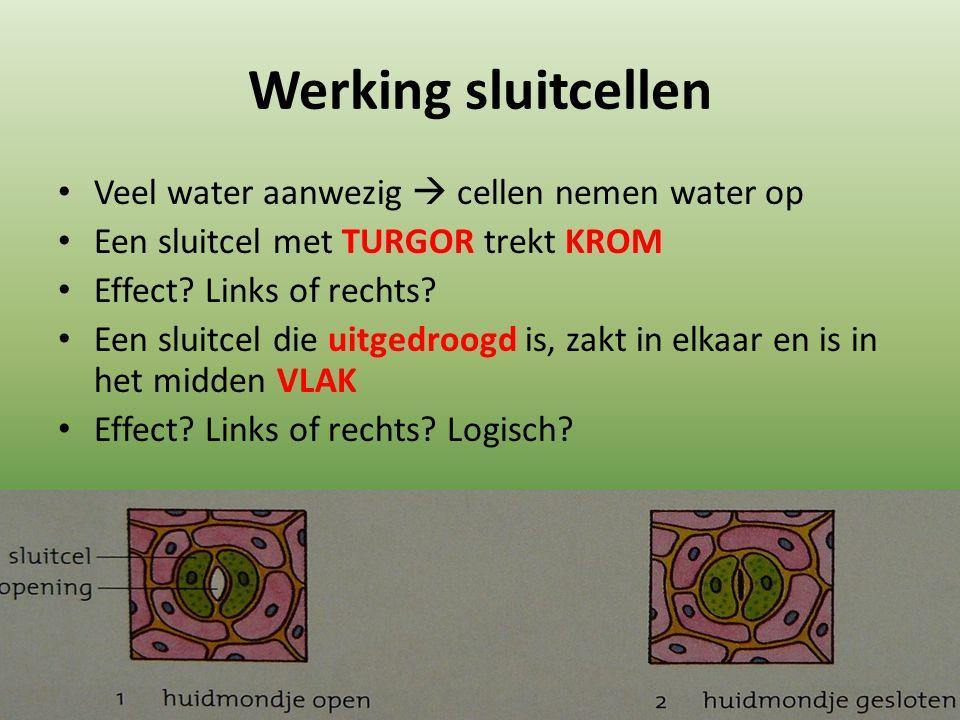 Werking sluitcellen Veel water aanwezig  cellen nemen water op