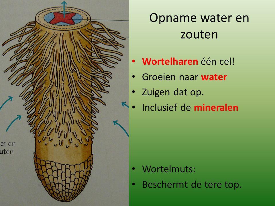 Opname water en zouten Wortelharen één cel! Groeien naar water