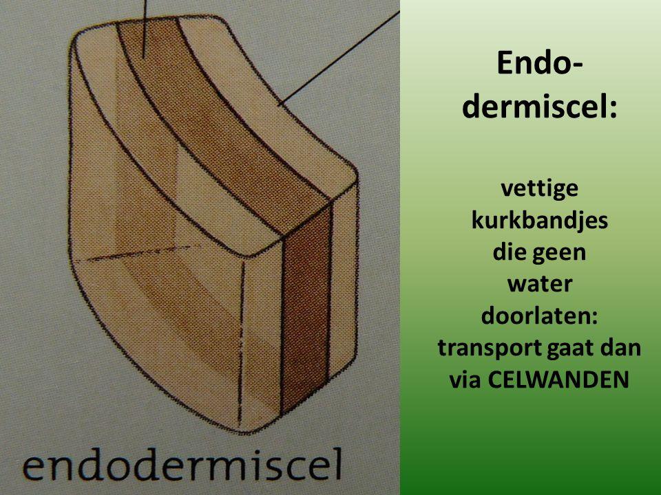 Endo- dermiscel: vettige kurkbandjes die geen water doorlaten: transport gaat dan via CELWANDEN
