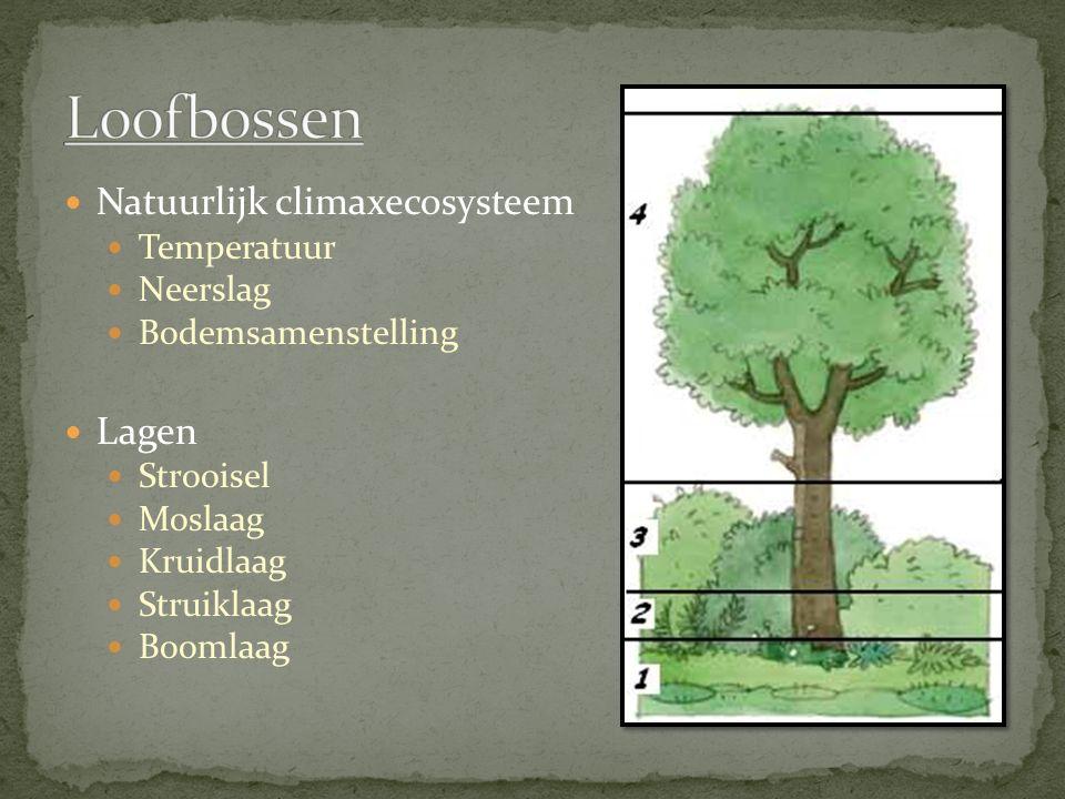 Loofbossen Natuurlijk climaxecosysteem Lagen Temperatuur Neerslag