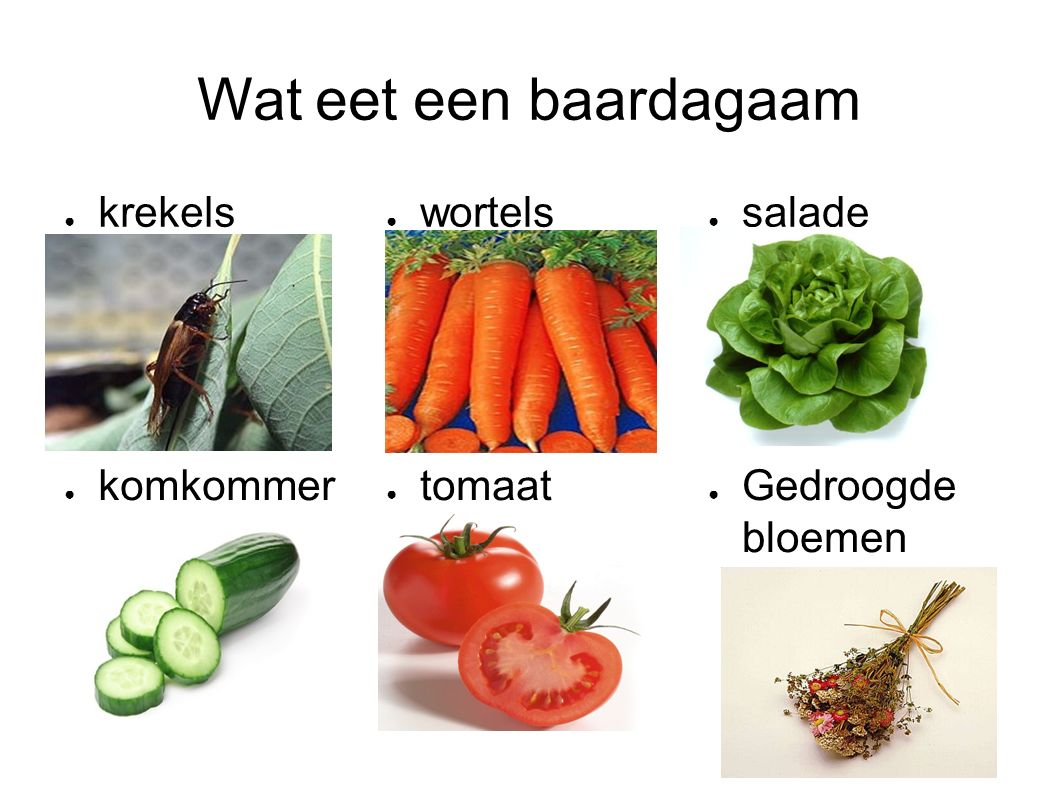 Wat eet een baardagaam krekels wortels salade komkommer tomaat