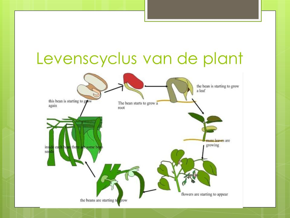 Levenscyclus van de plant