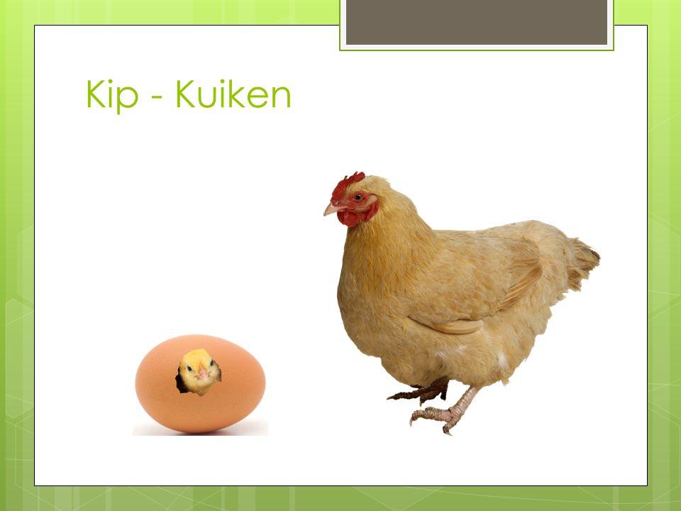 Kip - Kuiken