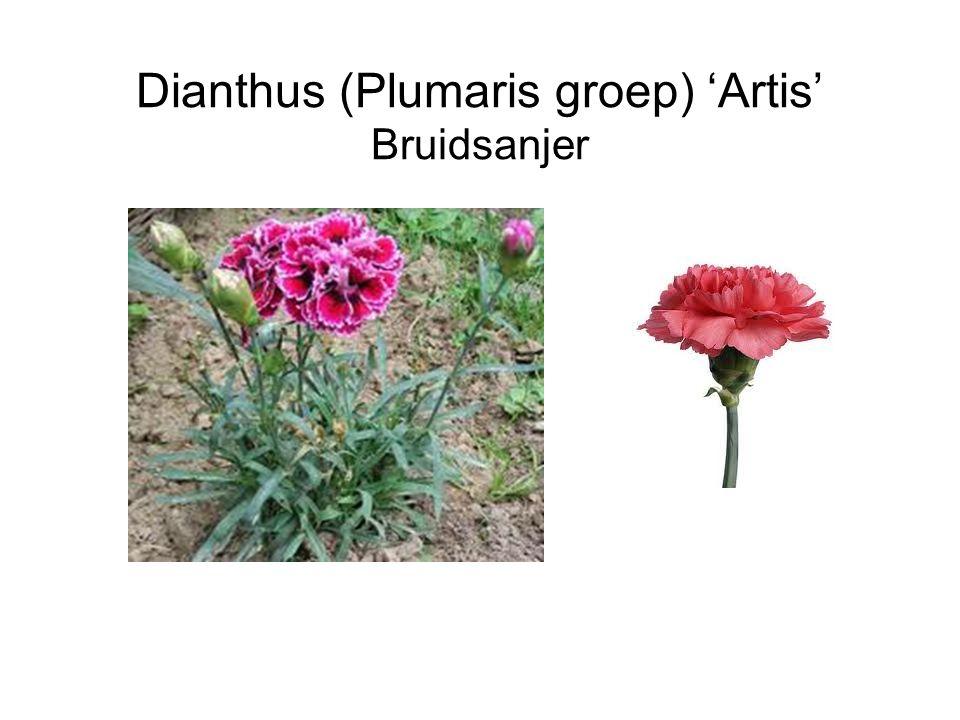 Dianthus (Plumaris groep) 'Artis' Bruidsanjer