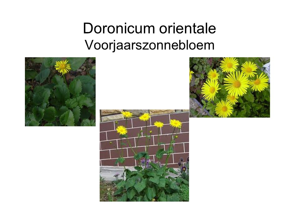 Doronicum orientale Voorjaarszonnebloem