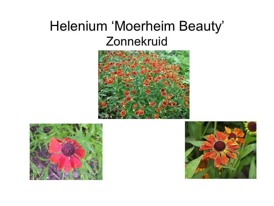 Helenium 'Moerheim Beauty' Zonnekruid