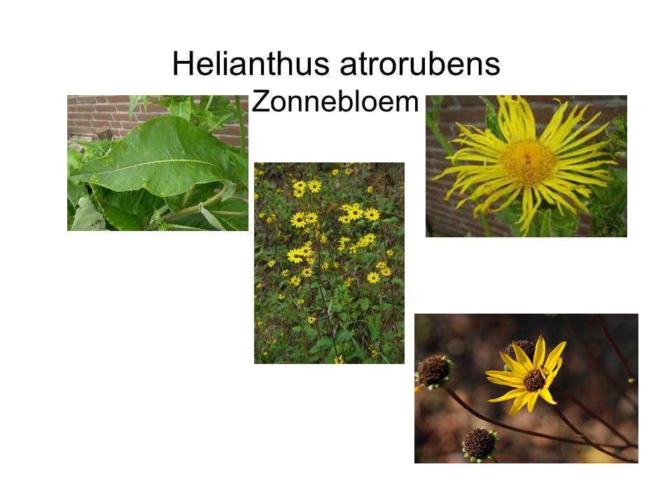 Helianthus atrorubens Zonnebloem