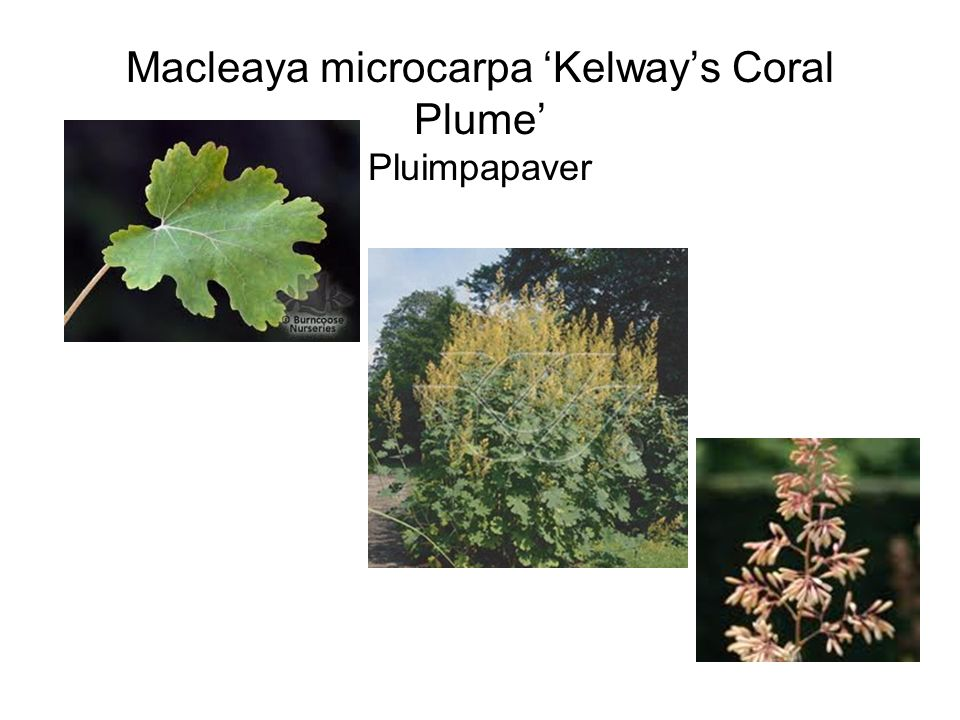 Macleaya microcarpa 'Kelway's Coral Plume' Pluimpapaver