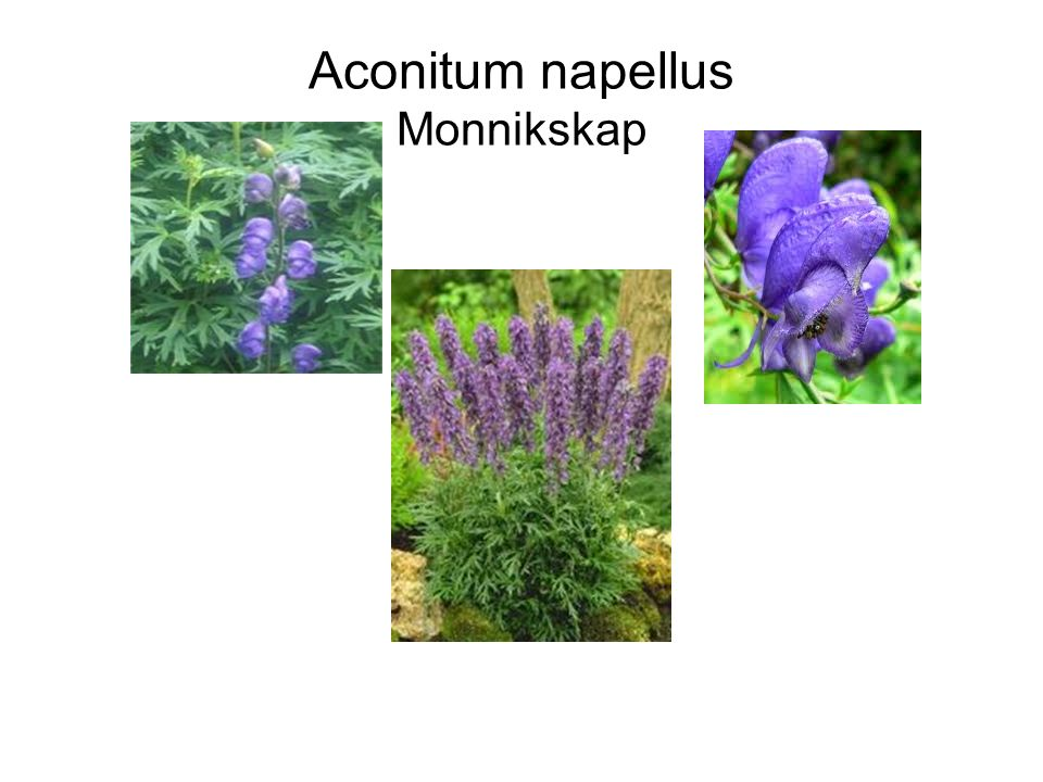 Aconitum napellus Monnikskap