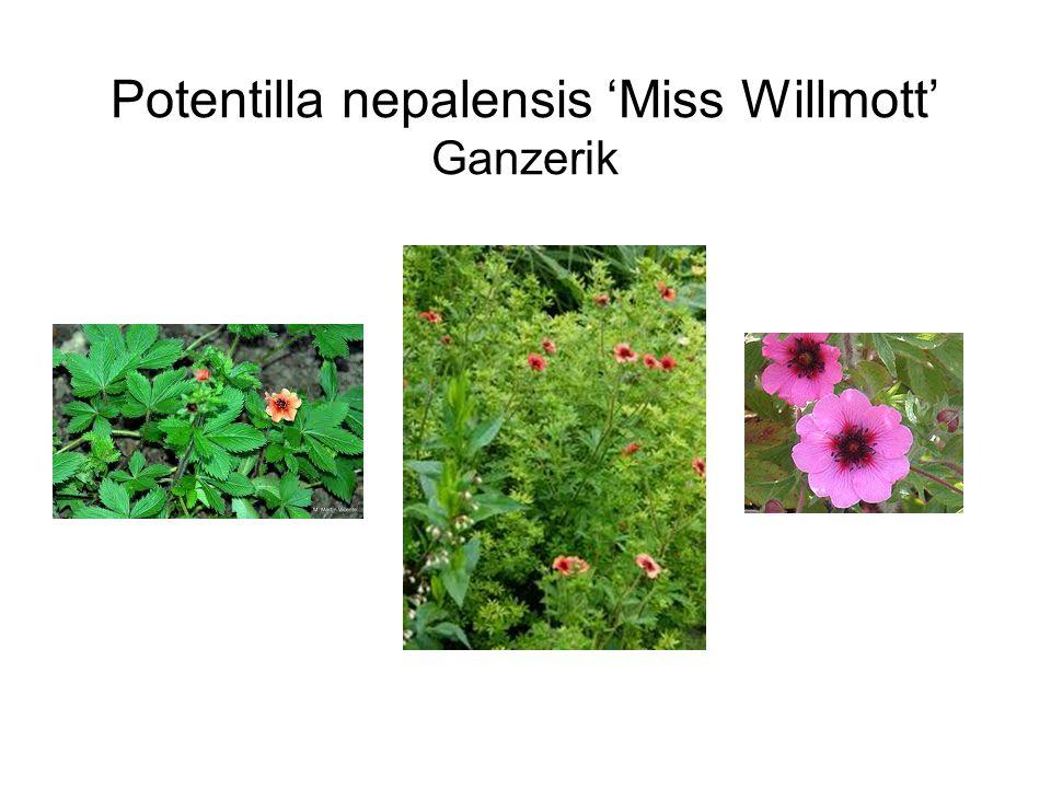 Potentilla nepalensis 'Miss Willmott' Ganzerik