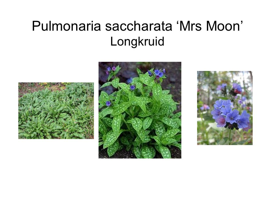 Pulmonaria saccharata 'Mrs Moon' Longkruid